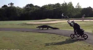 Huge alligator saunters through an open golf course related